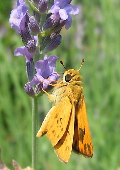 Fiery skipper (hylephila phyleus) - Hylephila phyleus