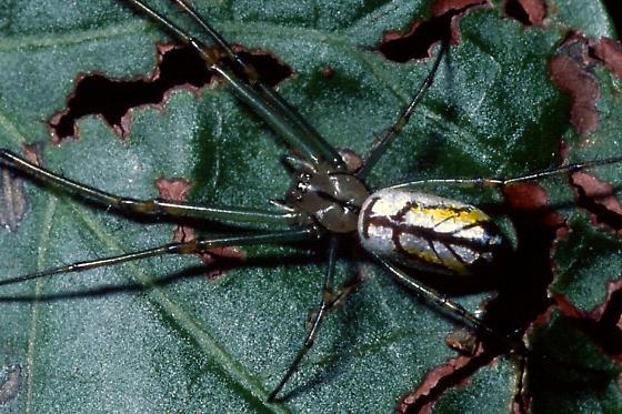 Venusta Orchard Spider - Leucauge venusta