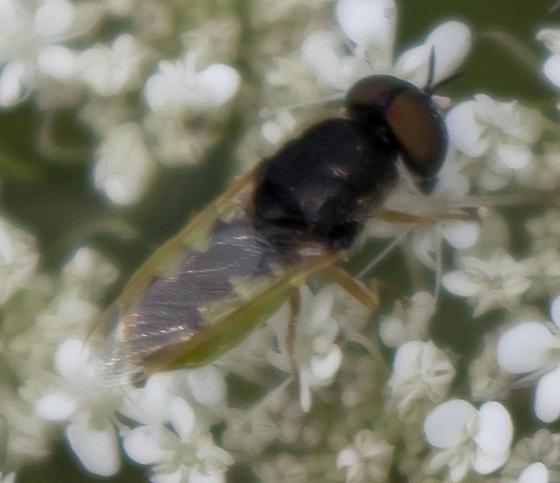 Unknown Dipteran