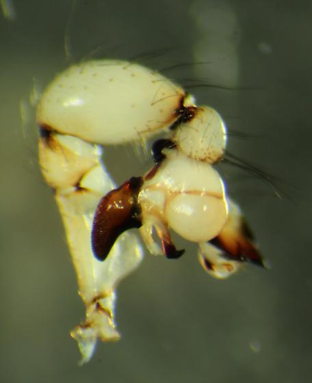 Pholcus phalangioides - male