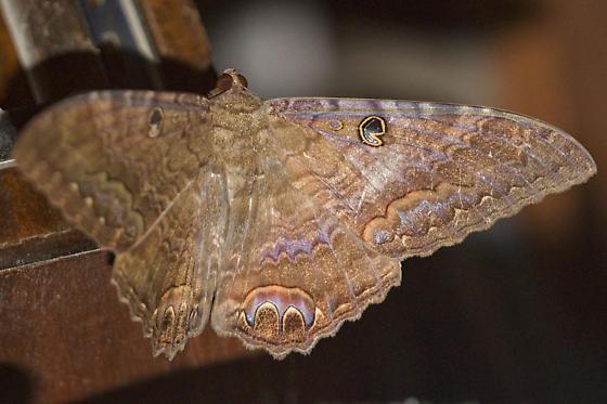 Moth- ID please - Ascalapha odorata