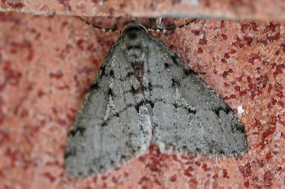 Moth - Phigalia strigataria