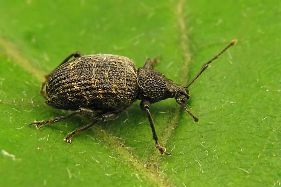 Snout and Bark Beetle - Otiorhynchus sulcatus