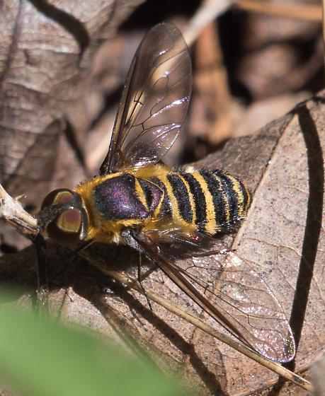 bee fly – genus Villa? - Villa