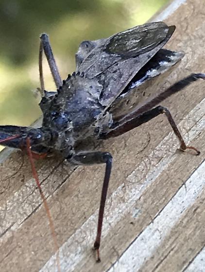 Please help identify... - Arilus cristatus