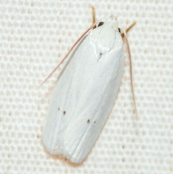 Vestal Moth, 1024 - Antaeotricha albulella