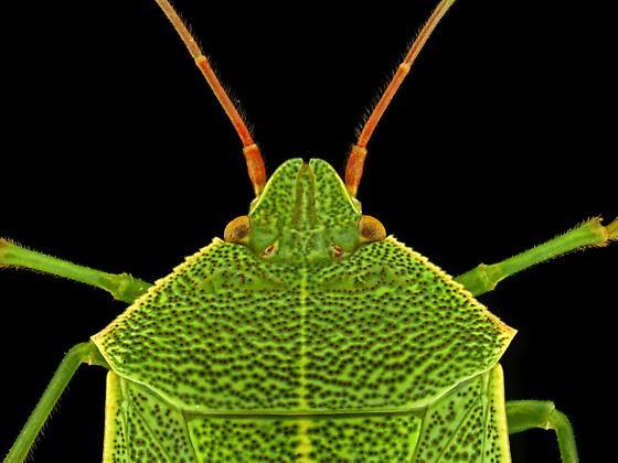 Male, Chlorocoris hebetatus? - Chlorocoris hebetatus - male
