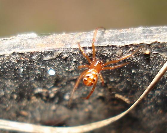 black widow spiderlings - Latrodectus mactans