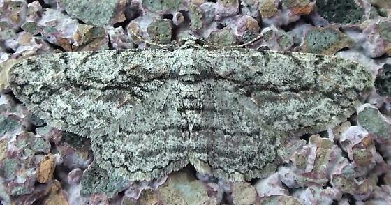 Geometridae: Iridopsis humaria? - Anavitrinella pampinaria