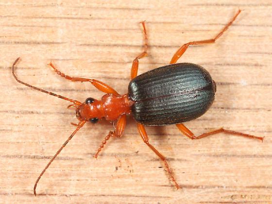 Bombardier Beetle - Brachinus vulcanoides