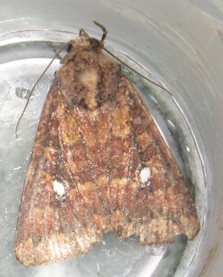 Moth for ID - Condica mobilis