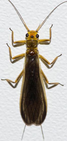 Plecoptera - Neoperla