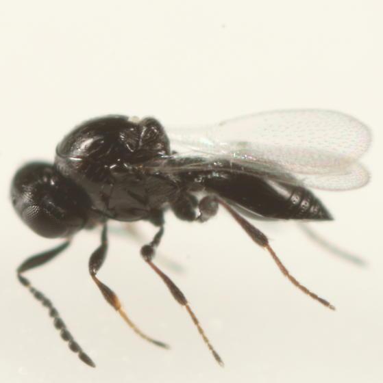 Platygastrid ex Vitisiella - Platygaster vitisiellae - female