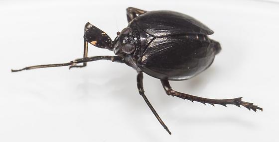 Planthopper - Phylloscelis atra