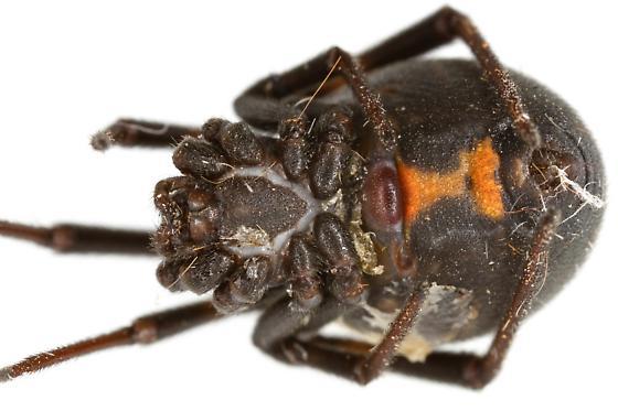 Female Western Black Widow? - Latrodectus hesperus - female