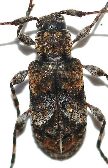 Bycid - Pseudastylopsis pini