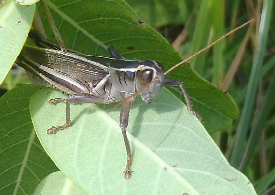 Two-striped Grasshopper - Melanoplus bivittatus - male