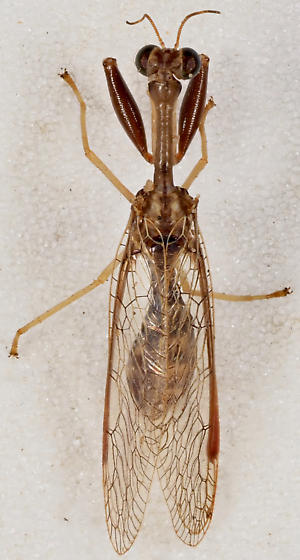Mantispid - Dicromantispa sayi - female