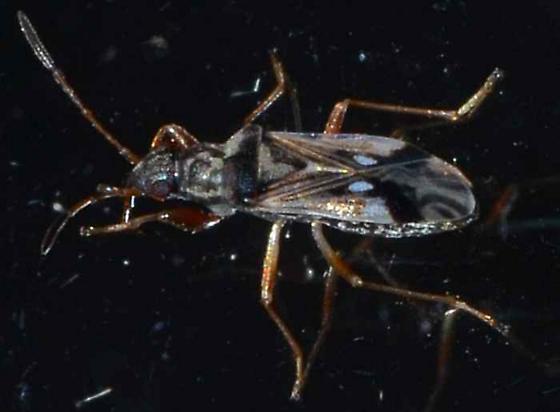 ? - Pseudopachybrachius vinctus