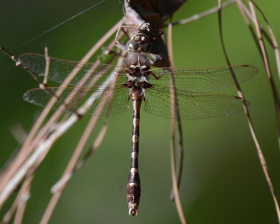 Swampland odonate - Didymops transversa - male