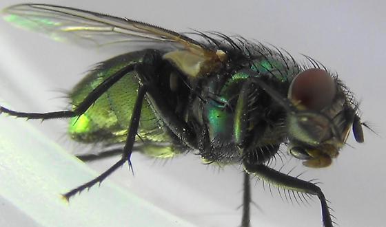 Shiny Green Monster (thorax hairs) - Lucilia sericata - female