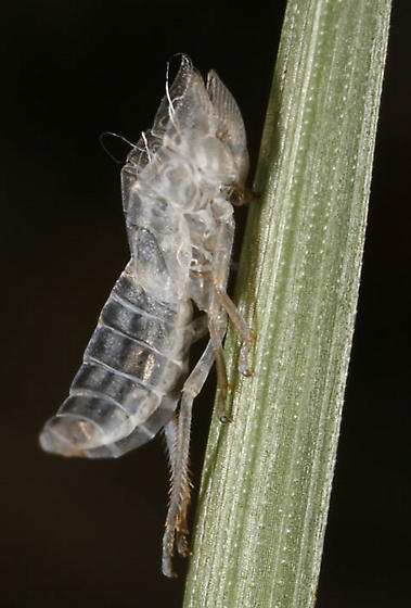 Nymph and exuvia - Draeculacephala