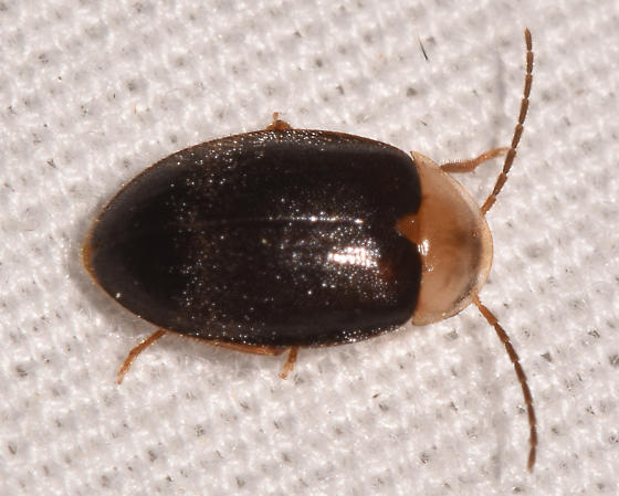 beetle060719-2 - Sacodes pulchella
