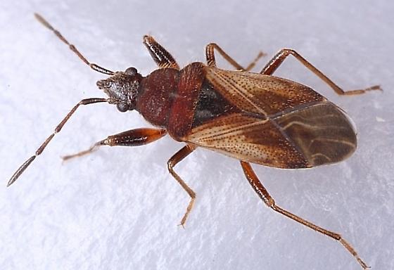 Pachybrachius luridus