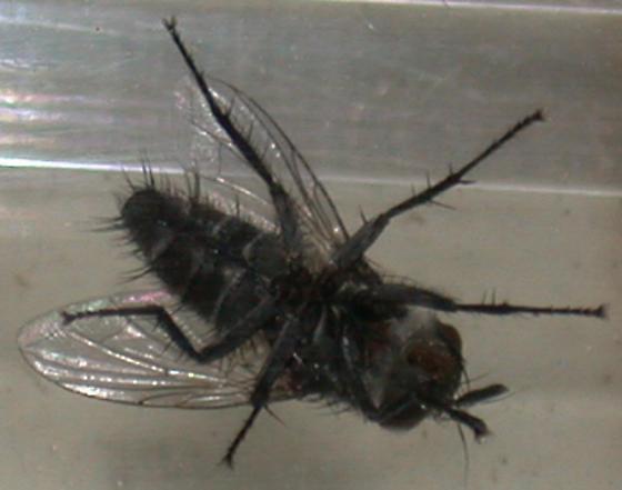 Tachinid from Milbert's tortoiseshell chrysalis