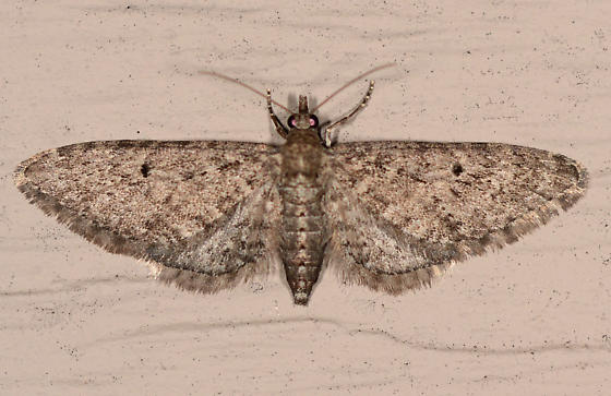 Eupithecia - female