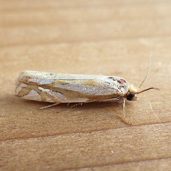 Tortricidae: Eucosma ridingsana - Pelochrista ridingsana