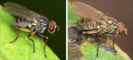 Coenosia octopunctata: male and female - Coenosia - male - female