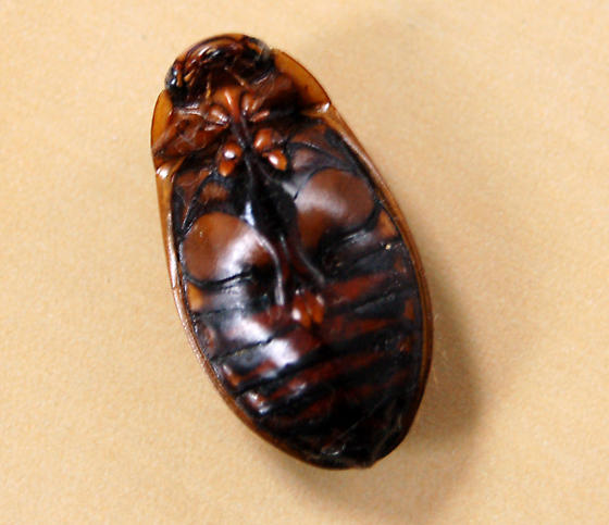 Unknown Beetle, possibly Whirligig? Help! - Dytiscus fasciventris