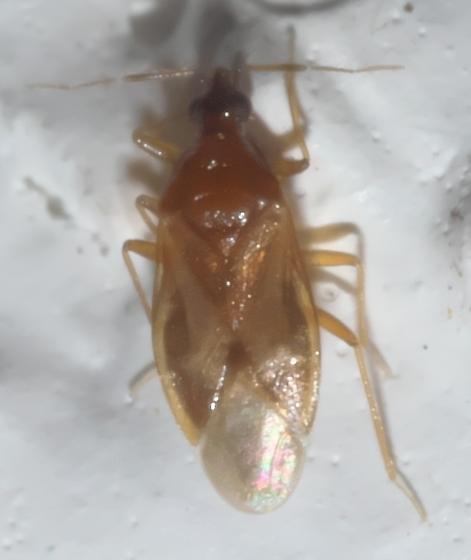 Small heteropteran