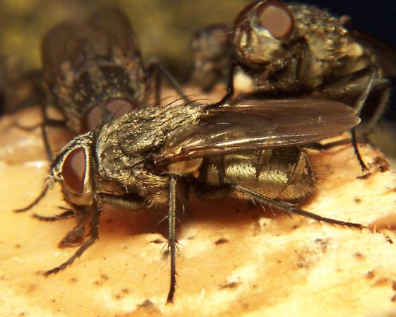 Cluster Fly - Pollenia - male - female