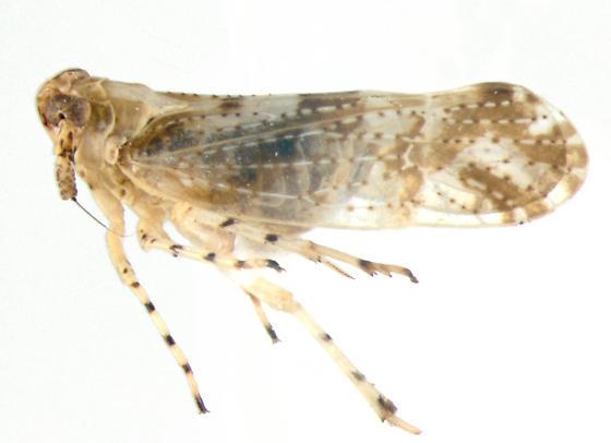 Delphacidae, lateral - Stobaera tricarinata