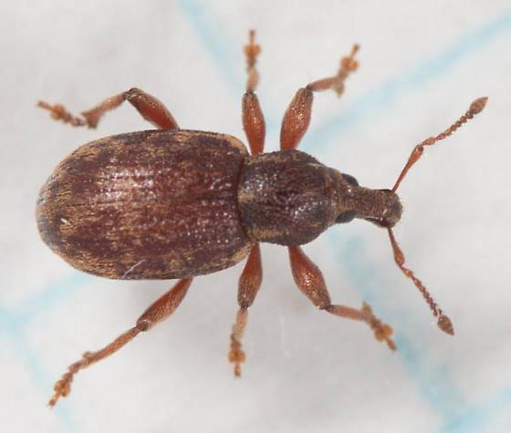 Snout Weevil - Curculionidae?   - Lepidophorus inquinatus