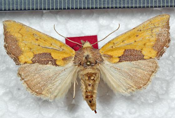 Noctuidae - Stiria rugifrons