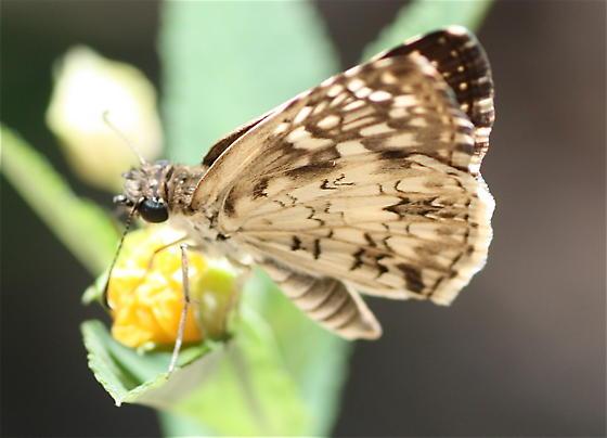 Texas butterfly - Pyrgus oileus