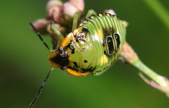 Green Shield Bug - Chinavia hilaris