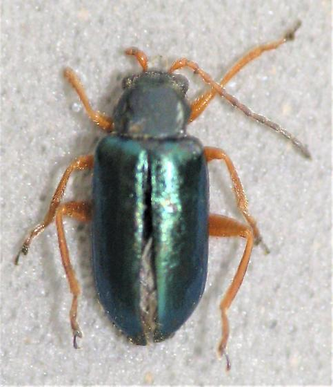 A green one - Scelolyperus