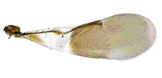 Encyrtidae? - Cheiloneurus