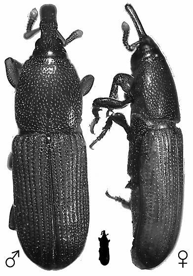 Mesites rufipennis