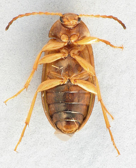 Comb-clawed Beetle - Isomira sericea