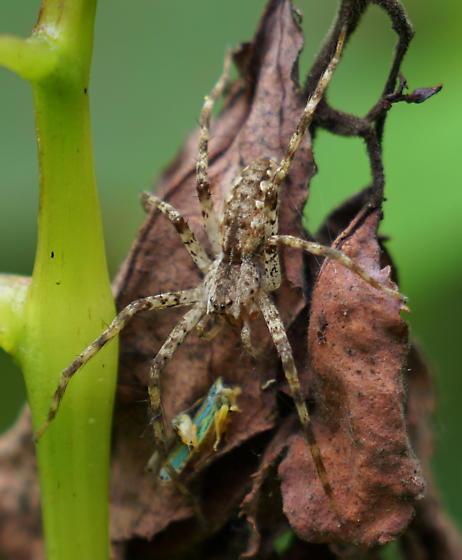 small spider - Pisaurina mira