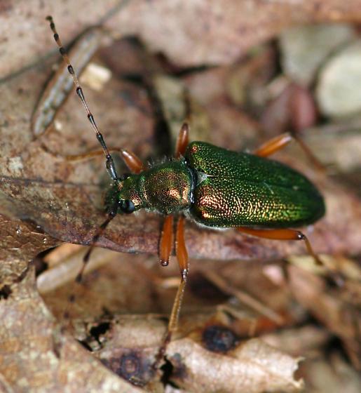 Unknown Cerambycid - Anthophylax cyaneus