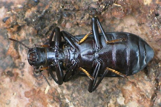 large black Darkling Beetle - Alobates pensylvanicus