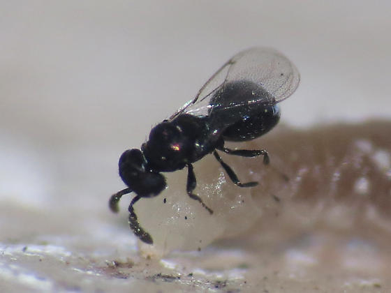 Small parasitoid wrangling a... larger parasitoid?
