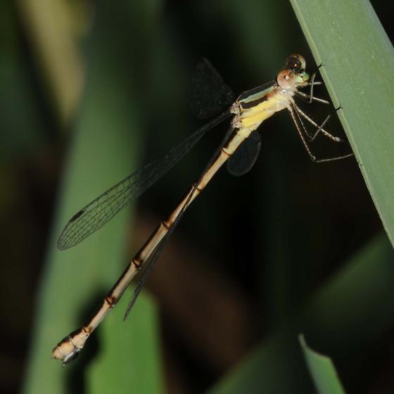 Spreadwing Damselfly - Lestes - female
