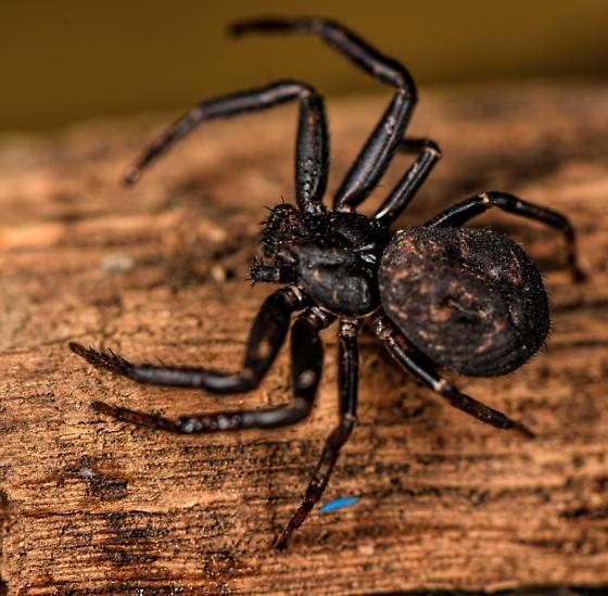 Bark spider? - Coriarachne brunneipes
